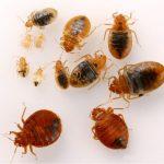 Kutu Kasur / Bed Bugs