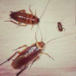 Kecoa / Cockroach
