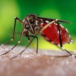 Nyamuk / Mosquitos